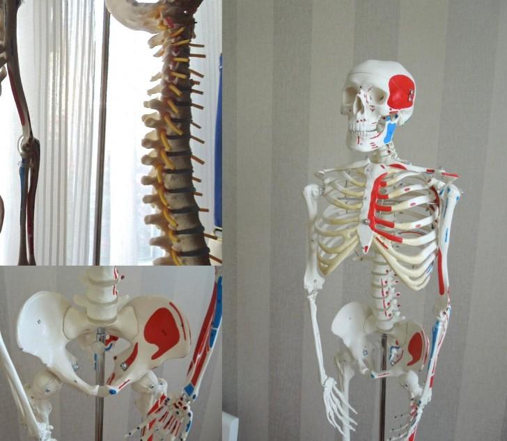 背骨からこんなにたくさんの神経が出ているなんて、こうして目で見て初めて実感。 背骨、骨盤が人間の健康に重要な役割を担っていることが分かりました。