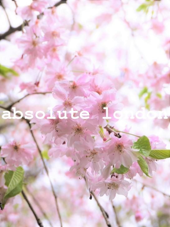 ablon #51 sakura
