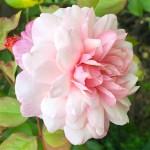大量のバラから、オイル成分のみが抽出される。